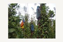 K BY TYNDIS Organic Wayanadan TGSEB Black Pepper - 3.png